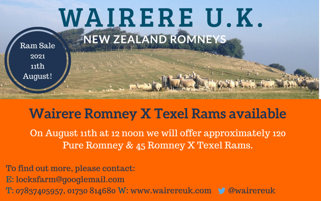 Wairere Romney X Texel Rams available